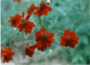 Dwarf Red Plains Coreopsis