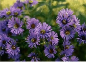 Wildflowers Native Blue And Purple Pictures Page 1