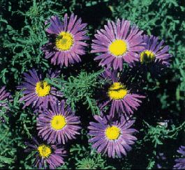 Wildflowers native blue and purple pictures page 1 prairie aster mightylinksfo