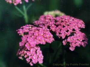 Rosey Red Yarrow