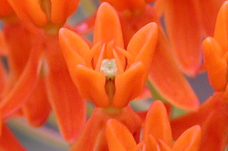 butterfly_milkweed1.jpg