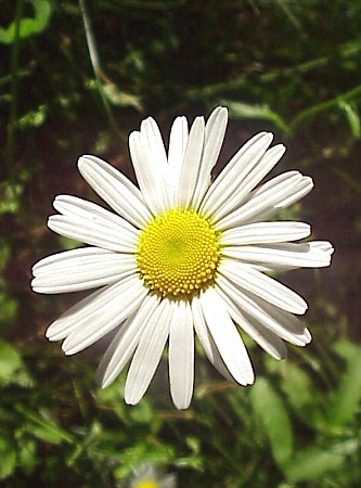 ox-eye_daisy.jpg