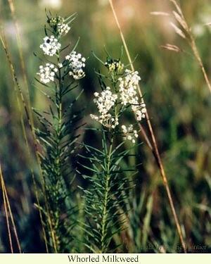 whorled_milkweed.jpg