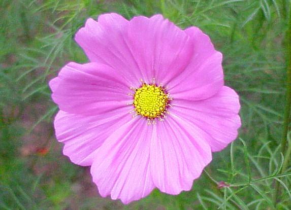 cosmos_senstation_pink.jpg
