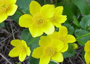 Wildflowers yellow native photos by prairie frontier page 6 around and its heart shaped leaves are large and reaching up to a length of 5 this flower blooms april thru may and likes sandy wet soils in full sun mightylinksfo