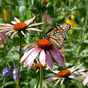 http://www.prairiefrontier.com/pages/pfmixpg/img/ButterflyMeadow.jpg